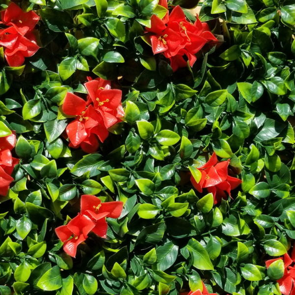 kunsthaag citrus maxima bloem detail